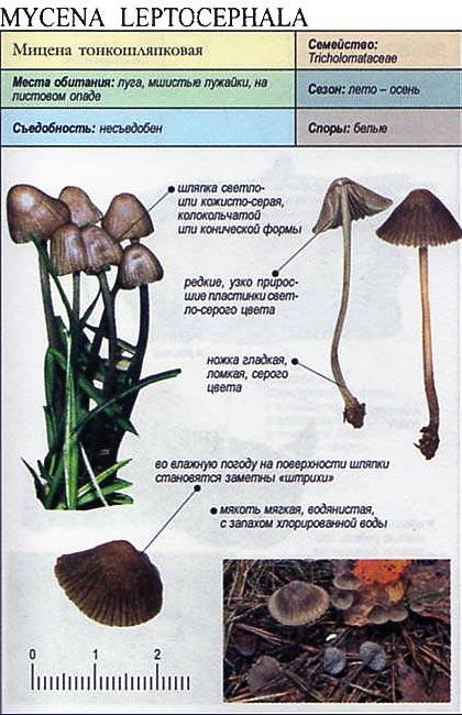 Мицена тонкошляпковая / Mycena leptocephala