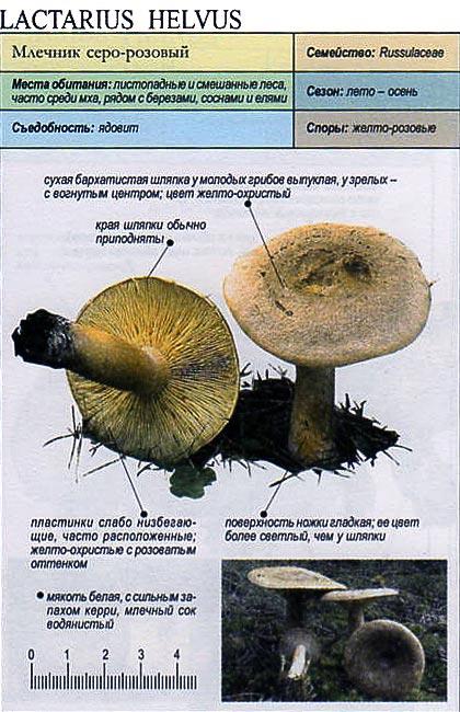 Млечник серо-розовый / Lactarius helvus