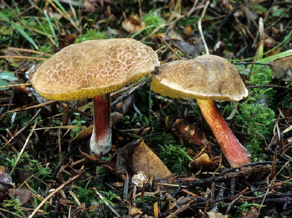 Моховик пёстрый (желтомясый, трещиноватый). Боровик пастбищный (Xerocomus chrysenteron)