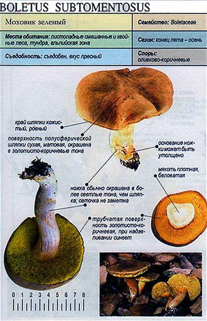 Моховик зеленый / Boletus subtomentosus