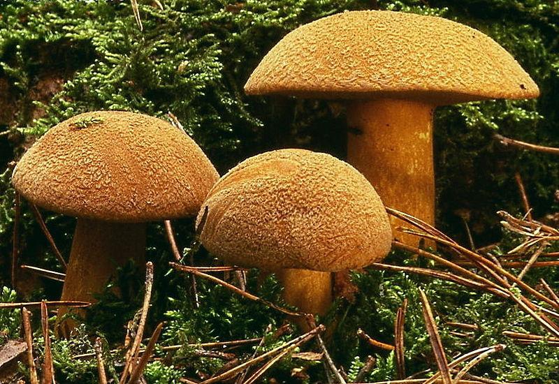Моховик жёлто-бурый (песчаный). Маслёнок пёстрый (Suillus variegatus)