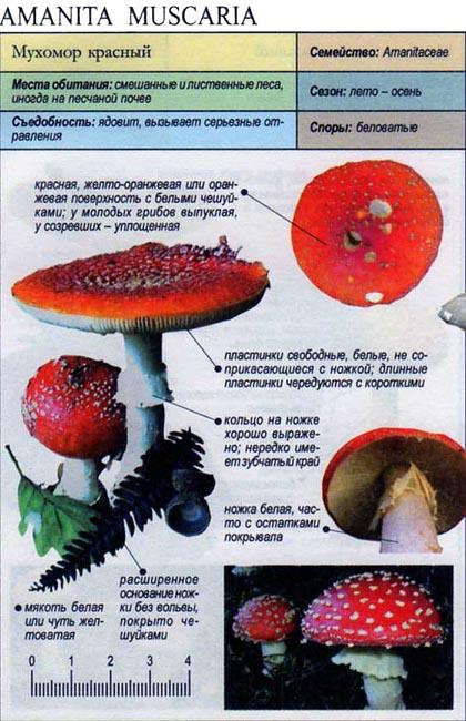 Мухомор красный / Amanita muscaria