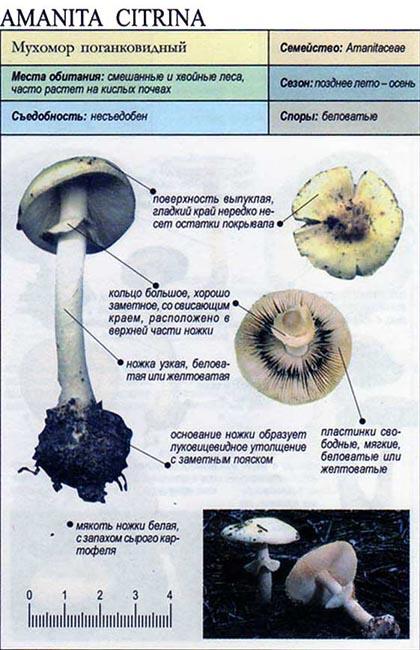 Мухомор поганковидный / Amanita citrina