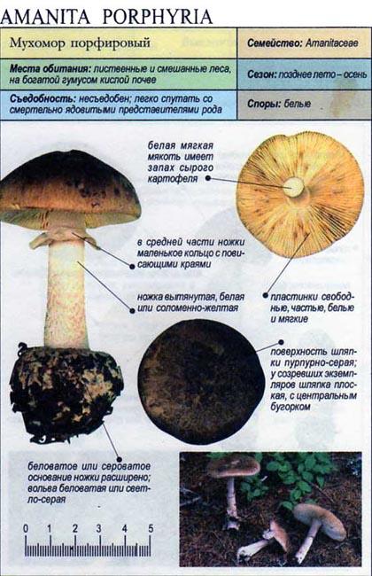 Мухомор порфировый / Amanita porphyria