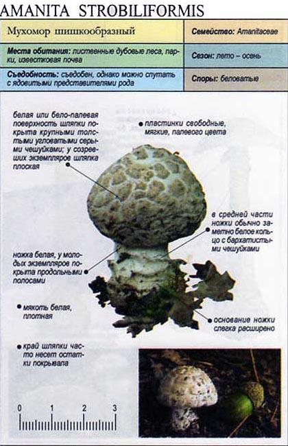 Мухомор шишкообразный / Amanita strobiliformis
