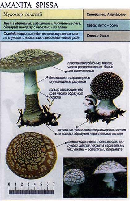 Мухомор толстый / Amanita spissa