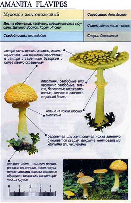 Мухомор желтоножковый / Amanita flavipes