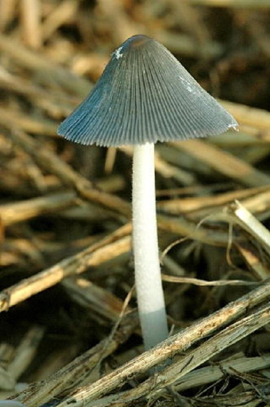 Навозник серый обыкновенный (Coprinus cinereus)