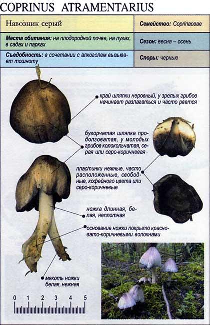 Навозник серый / Coprinus atramentarius
