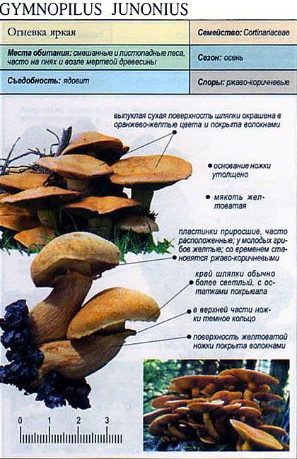 Огневка яркая / Gymnopilus junonius