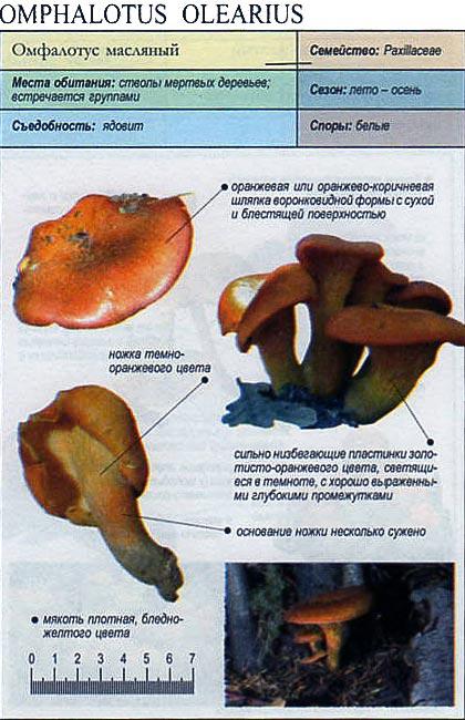 Омфалотус масляный / Omphalotus olearius