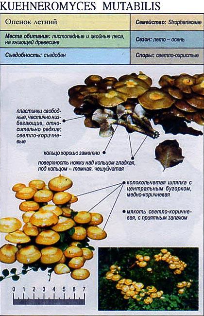 Опенок летний / Kuehneromyces mutabilis