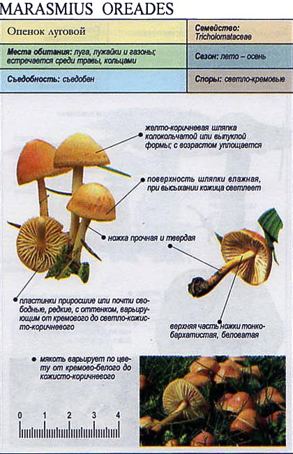 Опенок луговой / Marasmius oreades