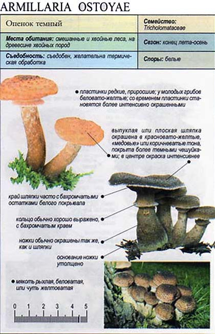 Опенок темный / Armillaria ostoyae