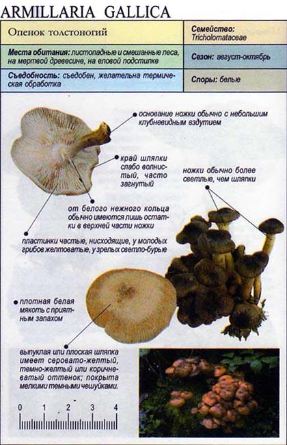 Опенок толстоногий / Armillaria Gallica