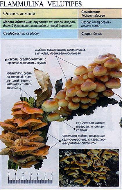 Опенок зимний / Flammulina velutipes