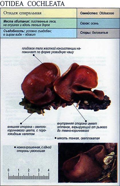Отидея спиральная / Otidea cochleata