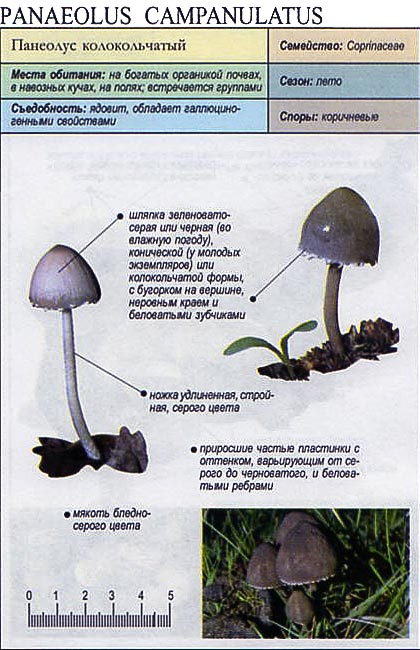 Панеолус колокольчатый / Panaeolus campanulatus