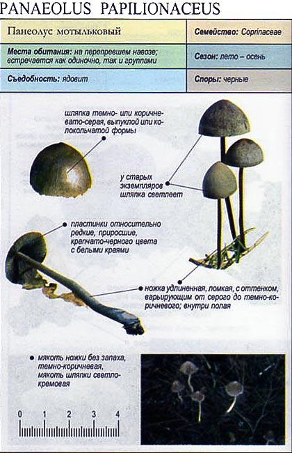 Панеолус мотыльковый / Panaeolus papilionaceus