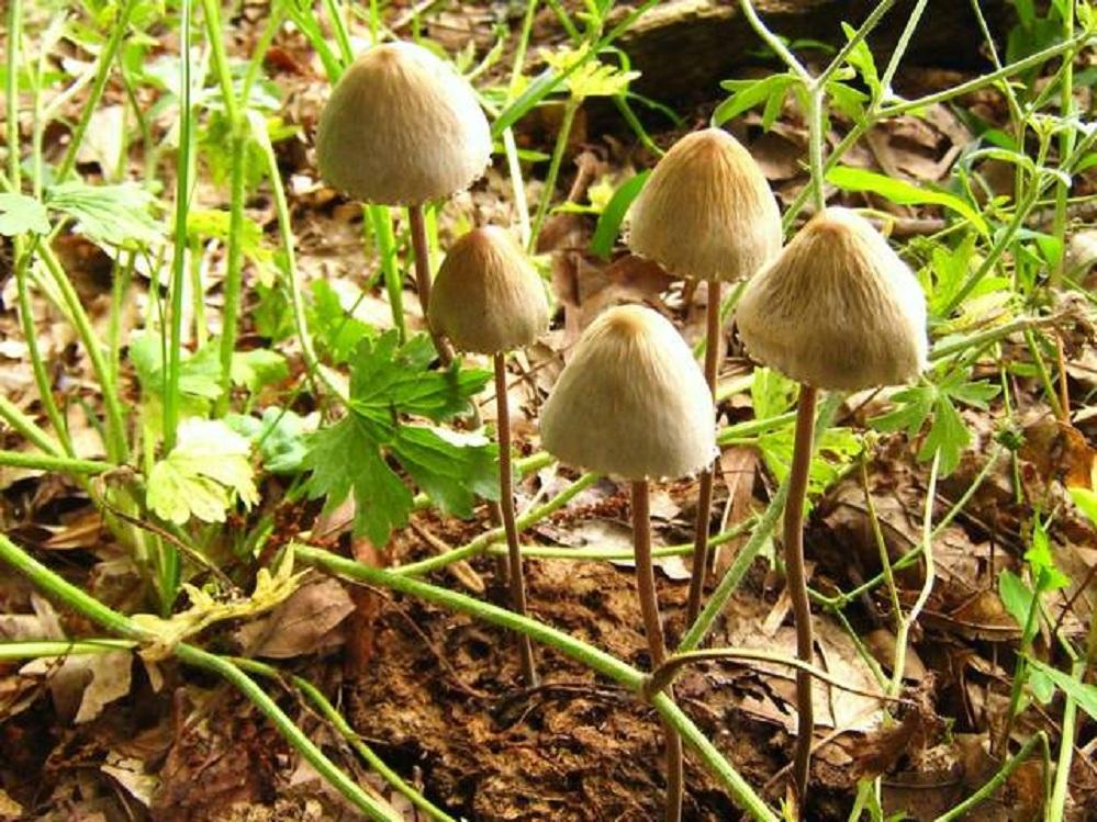 Панеолус (навозник) колокольчатый (мотыльковый) (Panaeolus campanulatus, P. papilionaceus)