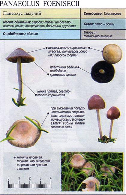 Панеолус пахучий / Panaeolus foenisecii