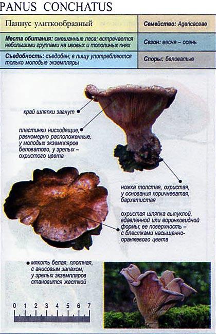 Паннус улиткообразный / Panus conchatus