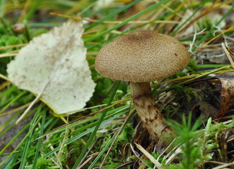 Паутинник чешуйчатый (Cortinarius pholideus)