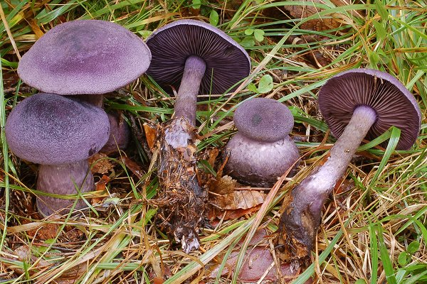 Паутинник фиолетовый (Cortinarius violaceus)