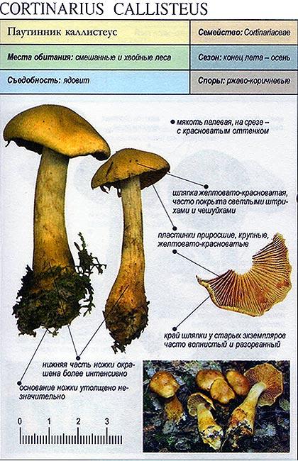 Паутинник каллистеус / Cortinarius callisteus
