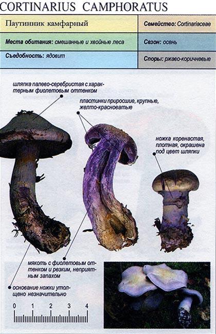 Паутинник камфарный / Cortinarius camphoratus