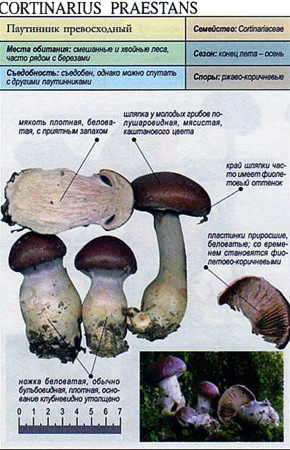 Паутинник превосходный / Cortinarius praestans
