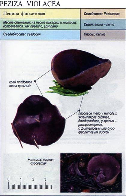 Пецица фиолетовая / Peziza violacea