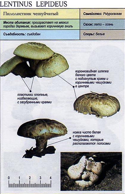 Пилолистник чешуйчатый / Lentinus lepideus