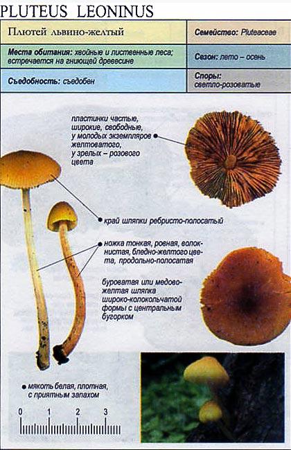 Плютей львино-желтый / Pluteus leoninus