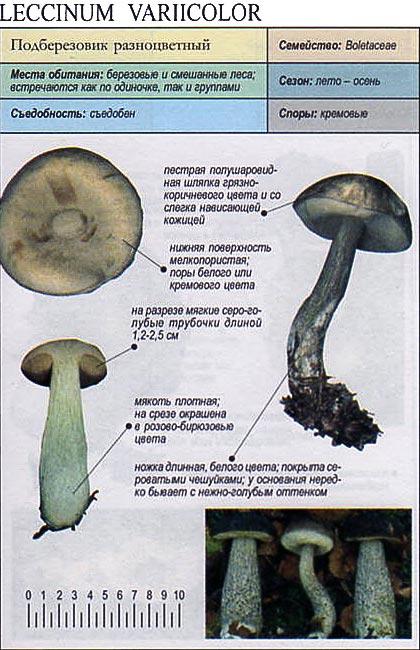 Подберезовик разноцветный / Leccinum variicolor