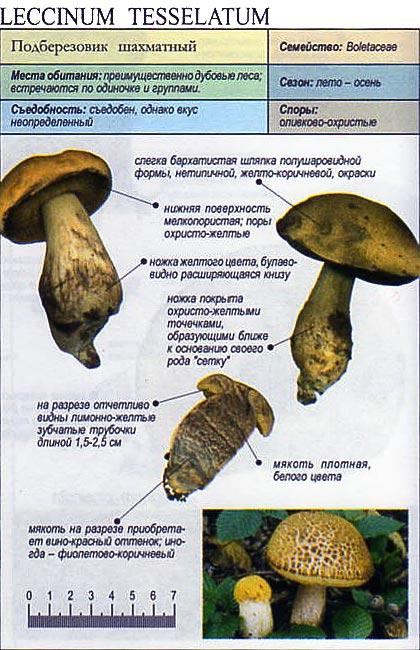 Подберезовик шахматный / Leccinum tesselatum