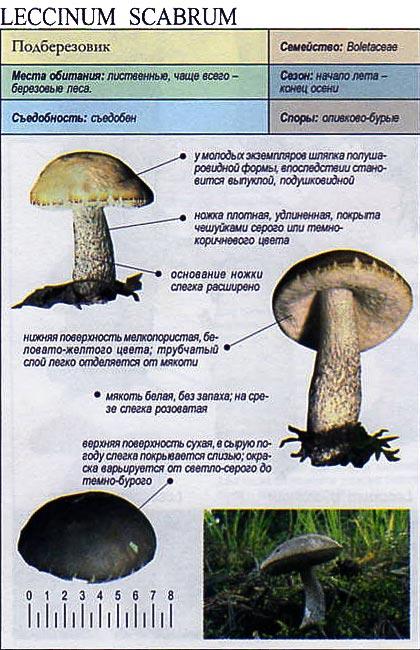 Подберезовик / Leccinum scabrum