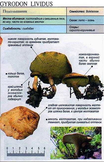 Подольшаник / Gyrodon lividus