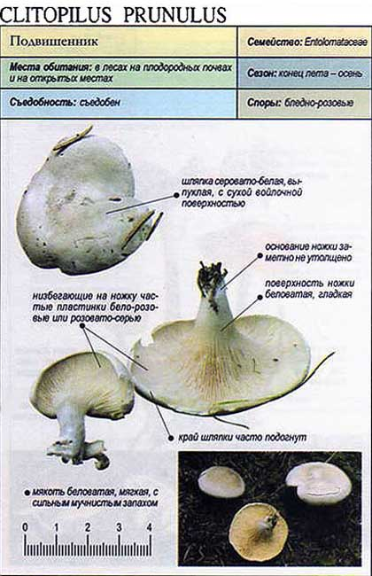 Подвишенник / Clitopilus prunulus