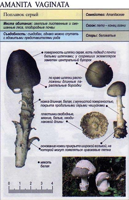 Поплавок серый / Amanita vaginata