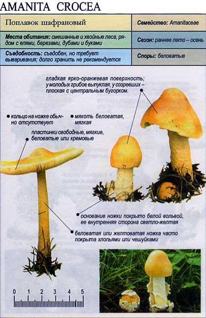 Поплавок шафрановый / Amanita crocea
