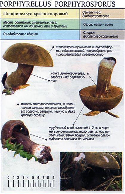 Порфиреллус красноспоровый / Porphyrellus porphyrosporus