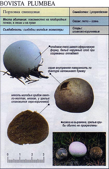 Порховка свинцовая / Bovista plumbea
