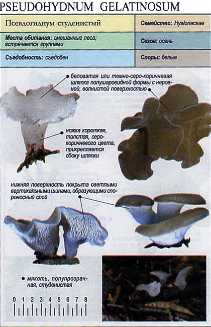Псевдогиднум студенистый / Pseudohydnum gelatinosum