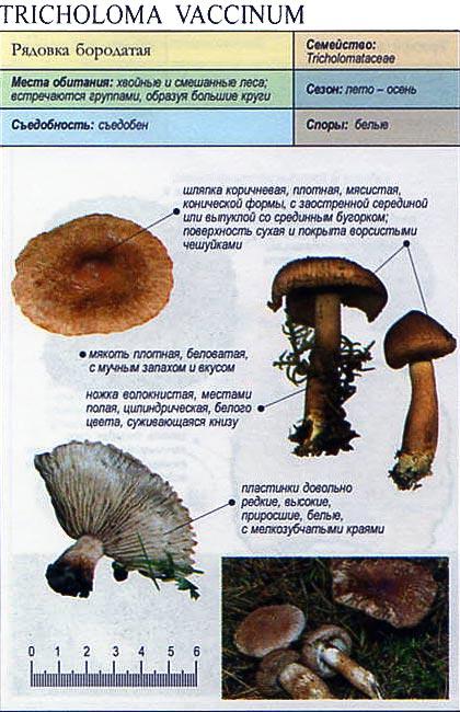 Рядовка бородатая / Tricholoma vaccinum