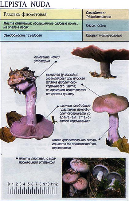 Рядовка фиолетовая / Lepista nuda
