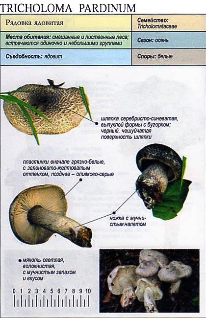 Рядовка ядовитая / Tricholoma pardinum