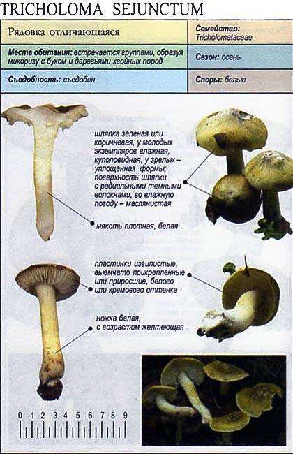 Рядовка отличающаяся / Tricholoma sejunctum
