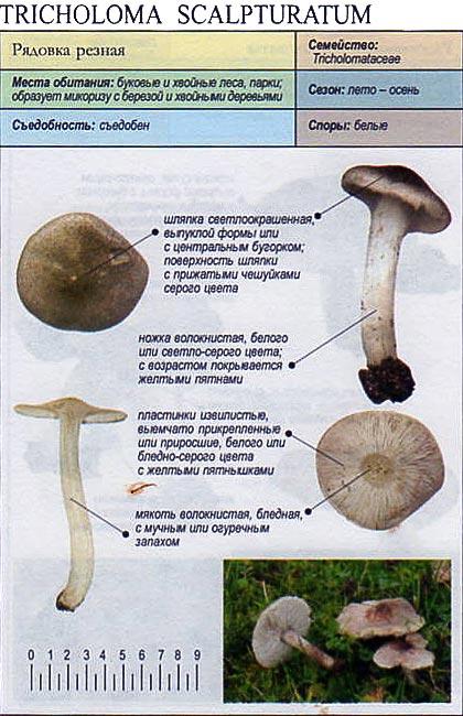 Рядовка резная / Tricholoma scalpturatum