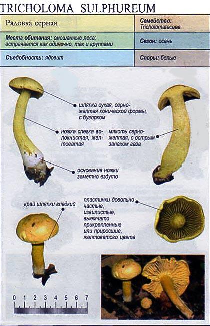 Рядовка серная / Tricholoma sulphureum